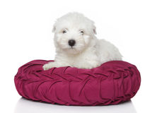 West Highland White Terrier puppy (1 month) Stock Photo