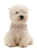 West highland white terrier puppy. A west highland white terrier puppy is sitting; isolated on the white background stock photos