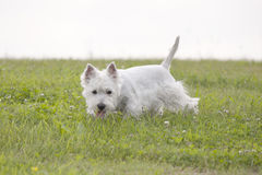 West Highland White Terrier puppy Royalty Free Stock Image