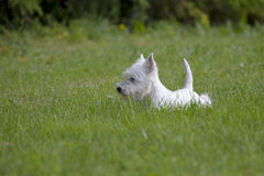 West Highland White Terrier puppy. Over nature background royalty free stock images