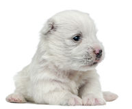 West Highland White Terrier puppy, 4 weeks old Stock Photos