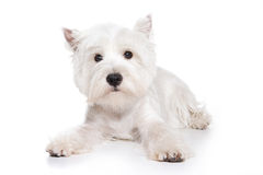 West Highland White Terrier puppy. On white background stock images