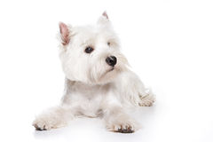 West Highland White Terrier puppy. On white background stock photography