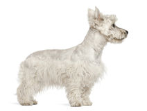 West Highland White Terrier puppy, 6 months old Royalty Free Stock Photos