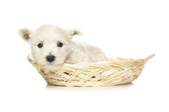 West Highland White Terrier puppy Royalty Free Stock Images