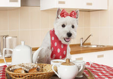 West Highland White Terrier puppy in the kitchen Stock Photos
