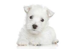 West Highland White Terrier puppy Stock Photos