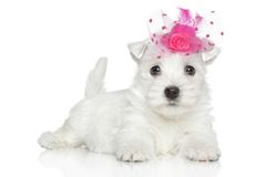 West Highland White Terrier puppy Royalty Free Stock Photo
