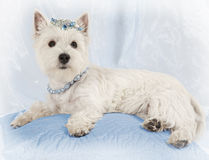 West Highland White Terrier puppy rest on a pillow Royalty Free Stock Photography