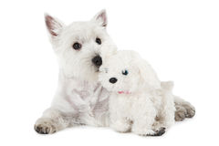 West Highland White Terrier puppy with a toy Stock Photos