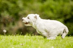 West Highland White Terrier running across the grass. In a park field or in the countryside. Against green. Teeth, nose, ears, tail and eyes showing. Puppy royalty free stock photos