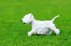 West highland white terrier running Stock Images