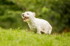 West Highland White Terrier running over a hill. In the park, countryside or field. Teeth, nose, ears, tail and eyes showing. Puppy. cute stock images