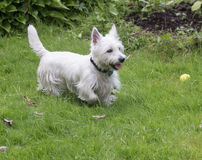 West Highland White Terrier. Side view of an adorable white dog,Westie,playing outdoors in summer Stock Photos