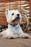 West Highland White Terrier. Sits on a wooden floor in a garden house stock images