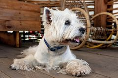 West Highland White Terrier. Sits on a wooden floor in a garden house royalty free stock photo