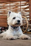 West Highland White Terrier. Sits on a wooden floor in a garden house royalty free stock image