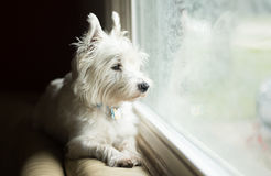 West Highland White Terrier. Sitting next to a window Royalty Free Stock Photo