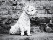 West Highland White Terrier sitting at the old brick wall. Nice contrast  of the dog hairs and contour of bricks. Stock Photos