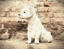 West Highland White Terrier sitting at the old brick wall. Nice contrast  of the dog hairs and contour of bricks. Stock Photo