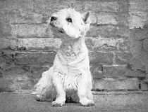 West Highland White Terrier sitting at the old brick wall. Nice contrast  of the dog hairs and contour of bricks. Royalty Free Stock Images