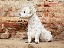 West Highland White Terrier sitting at the old brick wall. Nice contrast  of the dog hairs and contour of bricks. Royalty Free Stock Photography