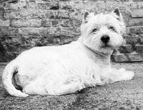 West Highland White Terrier sitting at the old brick wall. Nice contrast  of the dog hairs and contour of bricks. Royalty Free Stock Photo
