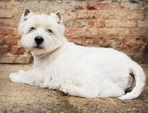 West Highland White Terrier sitting at the old brick wall. Nice contrast  of the dog hairs and contour of bricks. Stock Photography