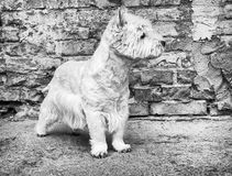 West Highland White Terrier sitting at the old brick wall. Nice contrast  of the dog hairs and contour of bricks. Royalty Free Stock Image