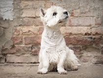 West Highland White Terrier sitting at the old brick wall. Nice contrast  of the dog hairs and contour of bricks. Stock Images
