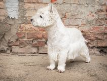 West Highland White Terrier sitting at the old brick wall. Nice contrast  of the dog hairs and contour of bricks. Royalty Free Stock Photos
