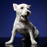 West Highland White Terrier sitting the photostudio, blue backgr. West Highland White Terrier sitting az the photostudio, blue background Stock Photography