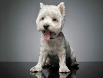 West Highland White Terrier sitting in a shiny floor thounge out. West Highland White Terrier sitting in a shiny floor Stock Photo