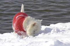 West Highland White Terrier sniffing in the snow. With a red pullover on stock image