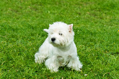 West Highland White Terrier stands. Stock Photos
