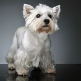 West Highland White Terrier staying on  studio table. West Highland White Terrier staying on the studio table Royalty Free Stock Images
