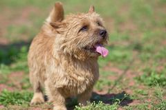West Highland White Terrier with sticking out tongue. Close-up stock photos