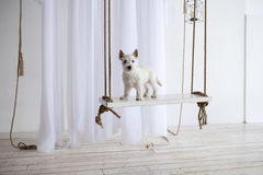 The West Highland White Terrier on a swing in the white studio. Stock Photos