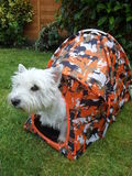 West Highland White Terrier in a Tent stock image