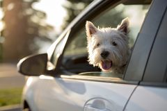 West highland white terrier a very good looking dog Stock Image