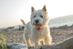 West highland white terrier a very good looking dog Royalty Free Stock Images