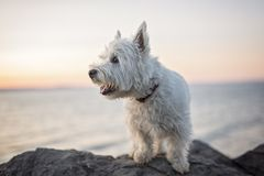 West highland white terrier a very good looking dog Stock Images