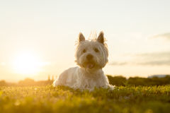 West highland white terrier a very good looking Stock Image