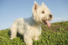 West highland white terrier a very good looking Royalty Free Stock Photos