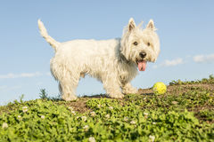 West highland white terrier a very good looking Stock Images