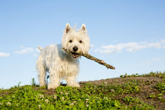 West highland white terrier a very good looking Royalty Free Stock Photography