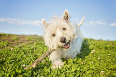 West highland white terrier a very good looking dog Stock Photos