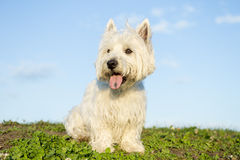 West highland white terrier a very good looking dog Stock Photo