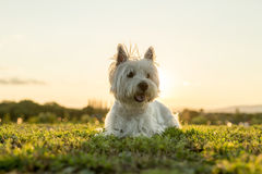 West highland white terrier a very good looking dog Royalty Free Stock Photo