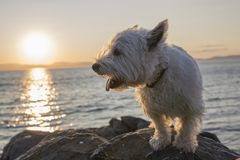 West highland white terrier a very good looking dog Royalty Free Stock Photography